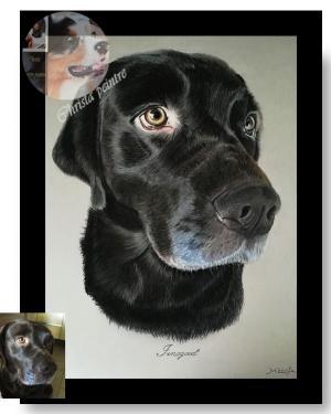 Labrador chocolas